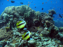 Antenna Butterflyfish. Shot in the Red Sea Royalty Free Stock Photography