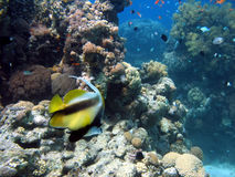 Antenna Butterflyfish. Shot in the Red Sea stock image