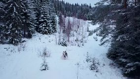 Antenna dello sposo che fila sposa felice che la tiene in sue mani nella foresta attillata dell'albero di abete del tempo della n video d archivio