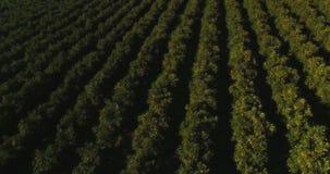 Antenna di un campo arancio stock footage