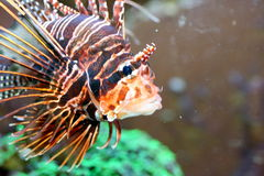 Antenna fire fish (Pterois antennata) Stock Photos