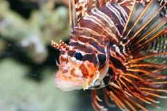Antenna fire fish (Pterois antennata) Stock Image