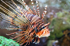 Antenna fire fish   (Pterois antennata) Royalty Free Stock Images