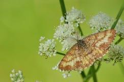 Antenna su un lepidottero marrone Fotografie Stock Libere da Diritti