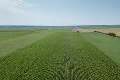 Antenna verde del campo di grano, antenna del campo di grano Immagini Stock