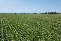 Antenna verde del campo di grano, antenna del campo di grano Immagini Stock Libere da Diritti