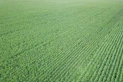 Antenna verde del campo di grano, antenna del campo di grano Immagine Stock Libera da Diritti