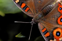 Antennae. Detail of a butterfly Stock Photo
