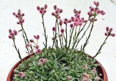Antennariadioicaen Rotes Wunder, vaggar trädgårdväxten, ½ för dvoudomà för kociá nek royaltyfri bild