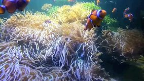 antennata鱼蓑鱼pterois 股票视频