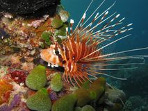 Antennata Lionfish Stock Afbeelding