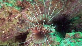 Antennata Pterois firefish Broadbarred в заливе Фуджейры ОАЭ Омана видеоматериал