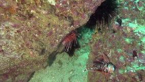 Antennata van Broadbarred firefish Pterois in de golf van Fujairah de V.A.E Oman stock footage