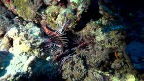 Antennata van Broadbarred firefish Pterois in koraal van Rode overzees de Soedan stock videobeelden