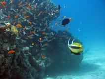 antennbutterflyfish Arkivfoto