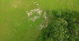 Antenne: camera die hoog rond schapenkudde vliegen op een gebied stock videobeelden