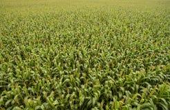 Antenne de plantation de champ de maïs Photo libre de droits