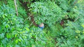 Antenne de tir, une ferme de café, un café d'arabica de catégorie, vraie plantation de café Agriculteur Collects Coffee Beans banque de vidéos