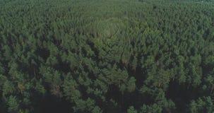 ANTENNE: Het vliegen boven mistige pijnboom bostreetops Dikke nevelige wolken die van weelderig net bos op koude ochtenddag toene stock footage