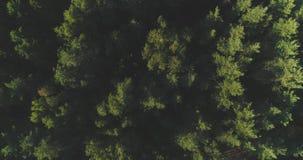 ANTENNE: Het vliegen boven mistige pijnboom bostreetops Dikke nevelige wolken die van weelderig net bos op koude ochtenddag toene stock video