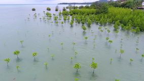 Antenne: Mangrove Forest Young Trees bij Kust dichtbij Strand in Koh Phangan, Thailand HD stock footage
