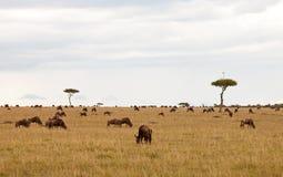 Antenne sur l'arbre d'acacia sur le masai Mara Photo stock
