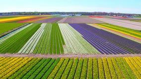 Antenne van tot bloei komende tulpengebieden in Nederland stock footage