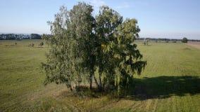 Antenne: vlucht over mooie groene boom bij gouden stock video
