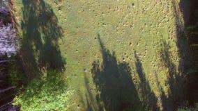 Antenne : vol sur la clairière dans la vue supérieure de forêt de pin de Carpathiens Bourdon se relevant rapidement banque de vidéos
