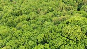 ANTENNE : Voler au-dessus d'un vaste pin vert luxuriant et d'un arbre impeccable complète dans la forêt 4k banque de vidéos