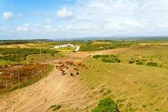 Antenne von den Kühen in der Landschaft von Portugal Stockbilder