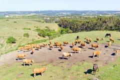 Antenne von den Kühen in der Landschaft von Portugal Stockfotografie