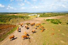Antenne von den Kühen in der Landschaft von Portugal Stockfotos