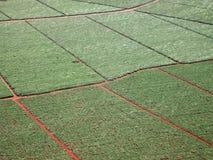 Antenne von Zuckerrohrerntefeldern Stockfotografie