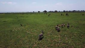 ANTENNE : Zèbres dans le safari Mikumi de la Tanzanie banque de vidéos