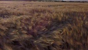 Antennen sköt ett vetefält lager videofilmer