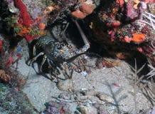 Antennes die van de zeekreeft - uit de bereiken Stock Foto