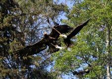 Anteny bitwa między Eagles przy ostrzeżenie zatoką, BC Obraz Royalty Free