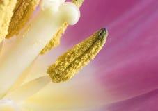 Antera a macroistruzione del tulipano con coregone lavarello Fotografia Stock Libera da Diritti