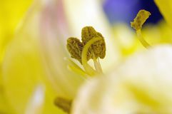 Anteras de la flor con polen Foto de archivo