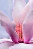 Anteras rosadas del flor de la magnolia fotos de archivo