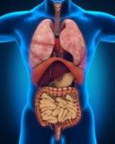Anterior взгляд человеческого тела Стоковая Фотография