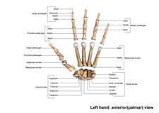 Anterior& x28 de main gauche ; palmer& x29 ; Vue dispersée Image libre de droits
