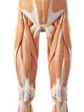 The anterior leg muscles Stock Photography