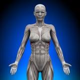 Anterior Serratus - женские мышцы анатомии иллюстрация вектора