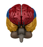 Anterior view of the Brain Stock Photography