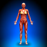 Anterior view - Female Anatomy Muscles. Human body stock illustration