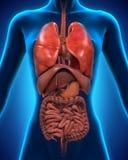 Anterior widok ciało ludzkie Fotografia Stock