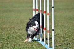 (Anteriormente pastor americano diminuto do australiano) na experimentação da agilidade do cão Fotos de Stock Royalty Free