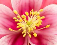 Anthère de fleur de fleur d'ancolie Photos libres de droits